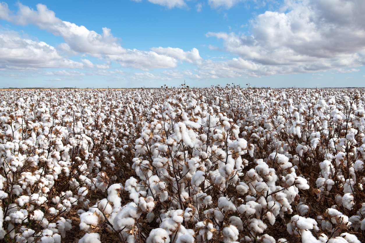 Bt Cotton Approved for Planting in Kenya- Crop Biotech Update (December 19, 2019) | ISAAA.org