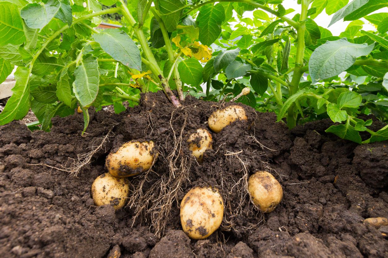 Cercetătorii chinezi au creat cartofi rezistenți la secetă